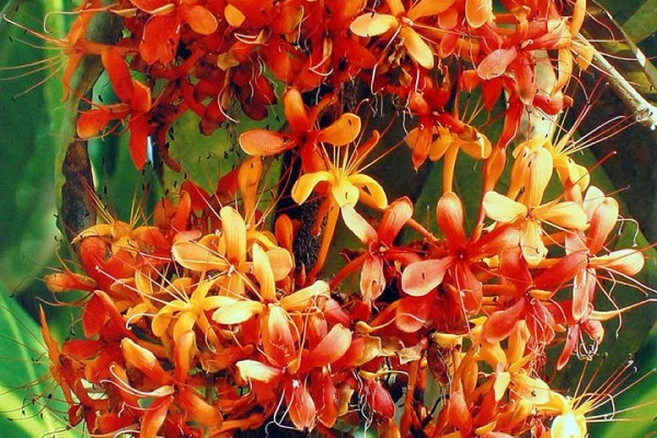 Consolation----'Saraca'-Karthika-D,-Trivandrum